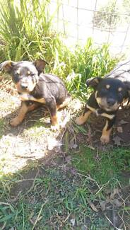 Kelpie Puppies - Pure Bred Goulburn 2580 Goulburn City Preview