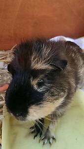 Young Male Guinea Pig Windang Wollongong Area Preview