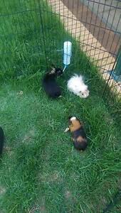 Rabbit and Guinea Pigs Happy Valley Morphett Vale Area Preview