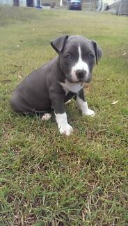 Pedigree Blue & White American Staffy Pups Gladstone Gladstone City Preview