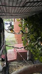 Gouldian Finch Windang Wollongong Area Preview