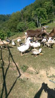 Rabbits, ducks, turkeys and bantams for sale   Murwillumbah Tweed Heads Area Preview