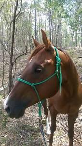 QUARTER HORSE MARE FOR SALE Bundall Gold Coast City Preview