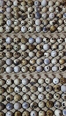 50count Jumbo Brown Coturnix Quail Hatching Eggs Npip Certified