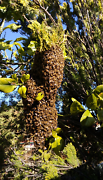 Beehive Bee Swarm Removal  Carine Stirling Area Preview