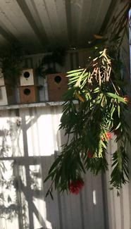 Red Rump Grassparrots