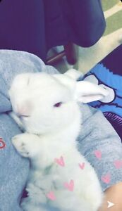 Albino Holland Lop looking for new home