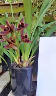 Mini Cymbidium Orchids 1 spike/5 bulbs in a 130mm pot