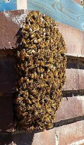 Bee Removal Petersham Marrickville Area Preview