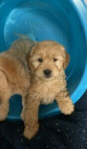 Labradoodle Kijiji In Ontario Buy Sell Save With