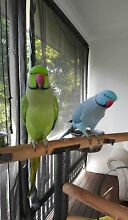 Give your Ringneck the love and care it deserves Beaudesert Ipswich South Preview
