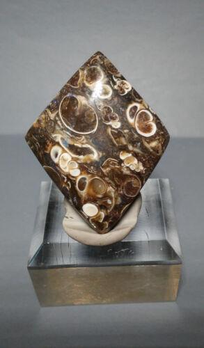 Turtella Cabochon - Fossilized Sea Creatures - Highly Agatized