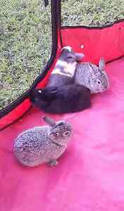 Mini lop bunnies ready to go Davoren Park Playford Area Preview