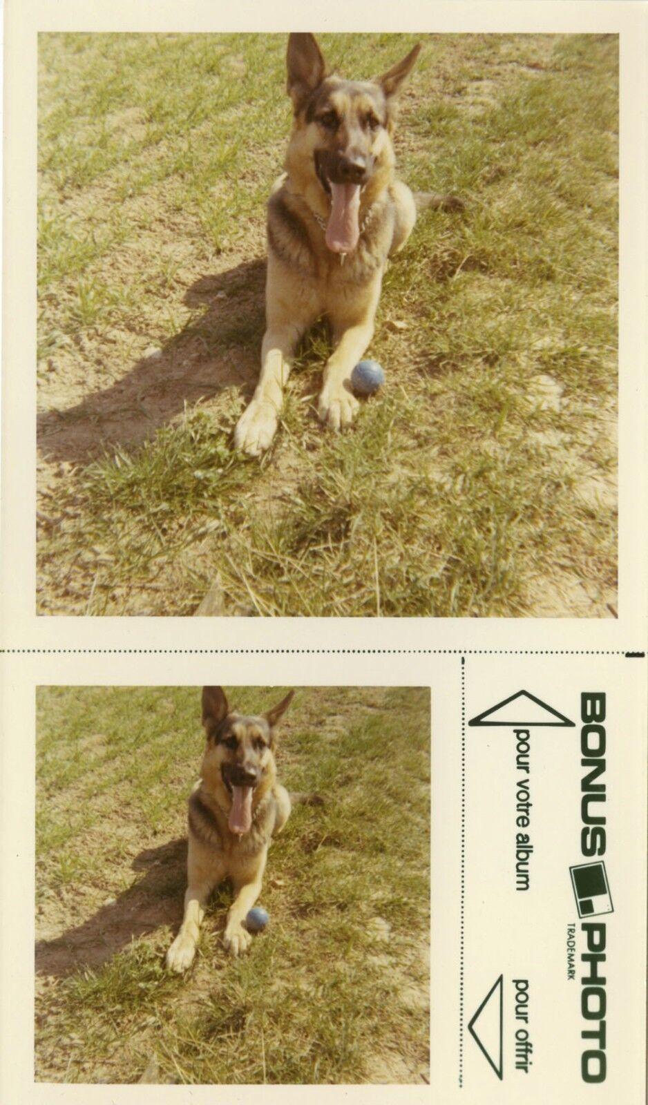 Photo ancienne - vintage snapshot - animal chien berger allemand bonus - dog 12