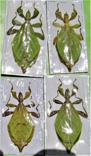 """One Rare Jacobsons Leaf Mimic Phyllium jacobsoni Female Near 3"""" FAST FROM USA"""