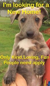 Whippet Puppy for Sale quality purebred male Great Lakes Area Preview
