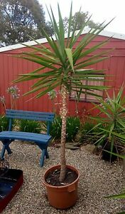 Yucca Plants (cheaper/smaller available also) Gilmore Tuggeranong Preview