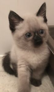 Blue & seal-point siamese kittens, so cute & cuddly (Ad 2)