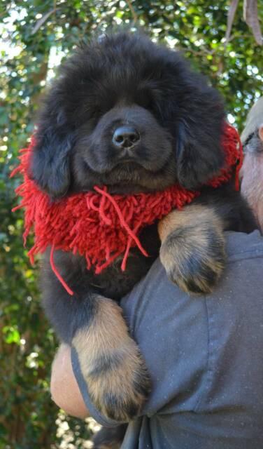 TIBETAN MASTIFF PUPPIES | Dogs & Puppies | Gumtree Australia