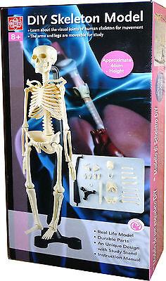 Menschliches Skelett 46cm Anatomie Modell mit Stand