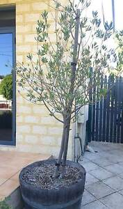 Olive Tree in Half wine barrel Kensington South Perth Area Preview