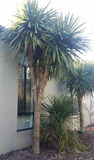 FREE - Cordyline Palm Tree Point Cook Wyndham Area Preview