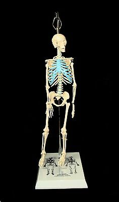 "Brand New 21"" Mini Skeleton Model With Stand for Anatomy or Art Moveable joints"