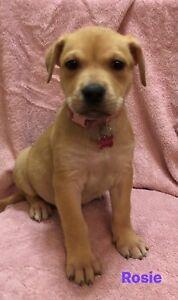 ROSIE - Mastiff x - 2 month