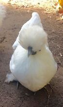Silkie cross Sussex hens Maleny Caloundra Area Preview
