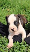 American Staffy Terrier Puppies Leppington Camden Area Preview