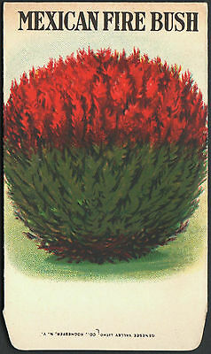 Mexican Bush - *Vintage* MEXICAN FIRE BUSH Flower Seed Packet GENESEE VALLEY LITHO 1930s RARE
