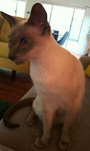 LOST SIAMESE CAT ( Sinagra Area ) Joondalup Joondalup Area Preview