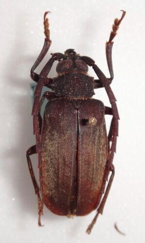 Prioninae RARE Prionid species N. Vietnam 32mm Longhorn Beetle Insect Xixuthrus