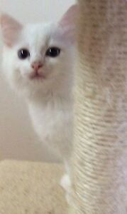 Available Gergeous Ragdoll TICA registered