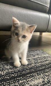 Half Persian female kitten