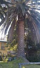 Date Palms Lilli Pilli 2229 Sutherland Area Preview