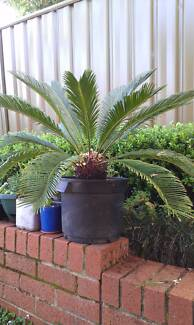 Bargain Cycad 1m wide 80cm height Eastwood Ryde Area Preview