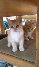 Kittens for sale Marrickville Marrickville Area Preview