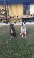 Staffy x Bull Arab Pups Hillman Rockingham Area Preview