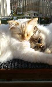 Birman Kittens/young Adults x2 Chigwell Glenorchy Area Preview