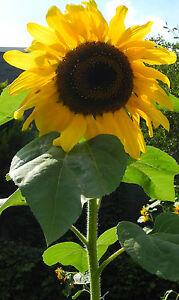 Feldsonnenblume SonnenblumeHelianthus annuus Samen Sonnenblumensamen