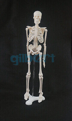 45cm Human Anatomical Anatomy Skeleton Model Medical Poster Medical Learn Aid