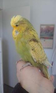 Hand tamed budgie Victoria Point Redland Area Preview