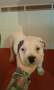 Male American bulldog pup. Hazelmere Swan Area Preview