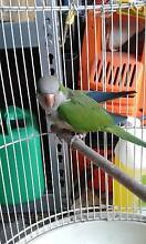 Found Parrot Noble Park Greater Dandenong Preview