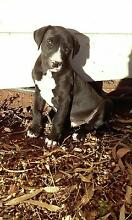price reduced great dane pups Tamworth 2340 Tamworth City Preview