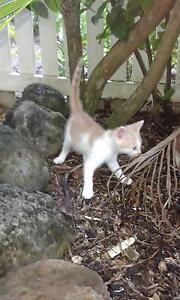 2 X Female kittens Westcourt Cairns City Preview