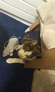 FOUND CAT ( must provide some sort of proof that he is yours)