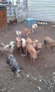 piglets for sale!!!! Bulahdelah Great Lakes Area Preview