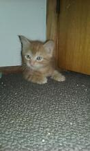 Very cute tiny cuddly kittens for sale ginger/tortishell Blaxlands Ridge Hawkesbury Area Preview